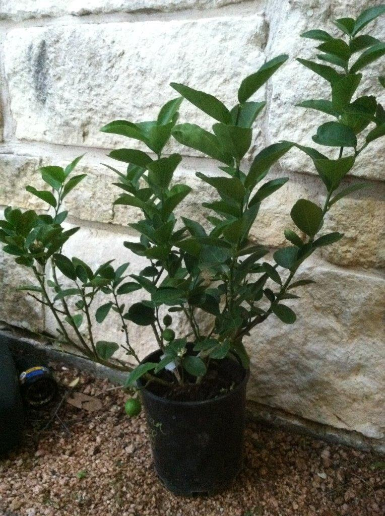 mexican-lime-plant-small